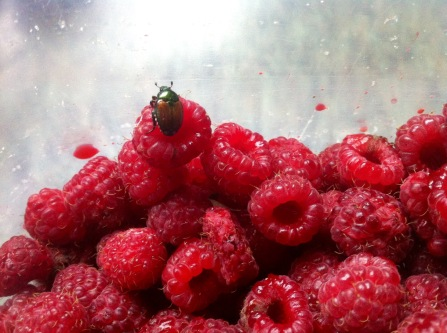 beetle-on-raspberry