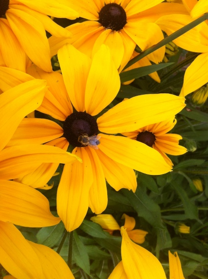 honeybee-on-black-eyed-susan